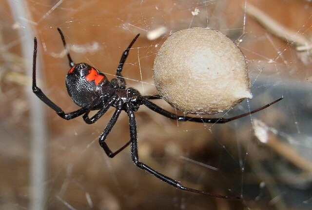 Facts about the black widow spider