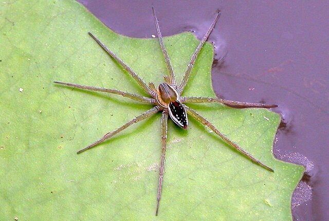 Facts about the fishing spider