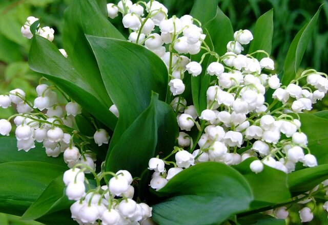 Lily Of The Valley Most Beautiful Flowers