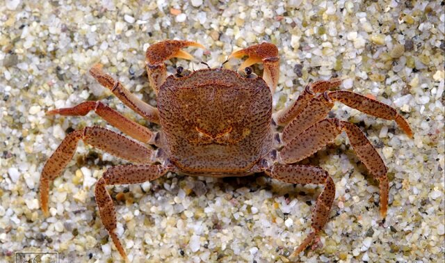 Singapore Freshwater Crab, rare animals