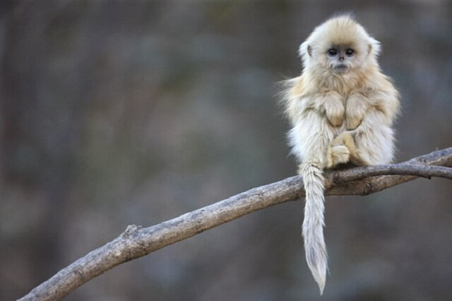 Tonkin Snub-Nosed Monkey, rare animals