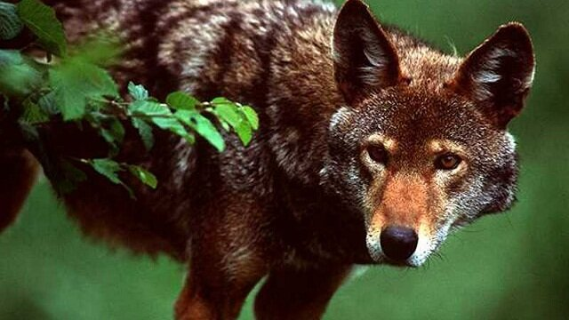 red wolf, rare animals