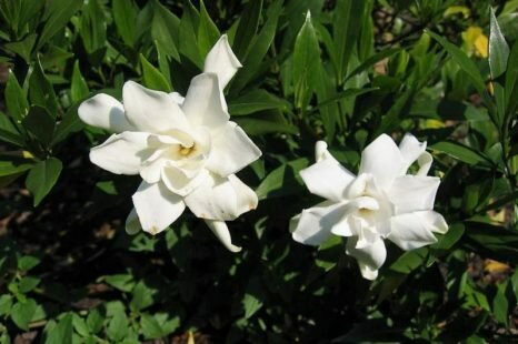 How to Grow and Care for Gardenia Plants